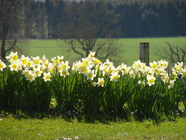 Spring Daffodils 2014